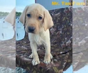 Labrador Retriever Puppy for sale in MERIDEN, KS, USA