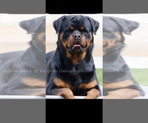 Rottweiler Puppy for sale in OXNARD, CA, USA