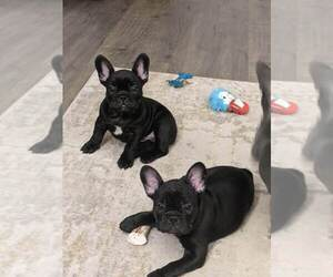 French Bulldog Dog for Adoption in FORT MYERS, Florida USA