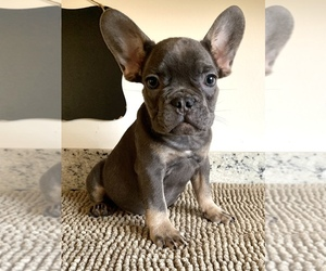 French Bulldog Puppy for sale in PORTLAND, OR, USA