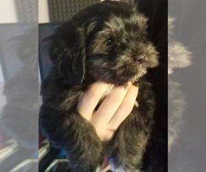 Havanese Puppy for sale in GILBERT, AZ, USA