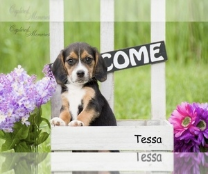 Beagle Puppy for sale in CLARE, MI, USA