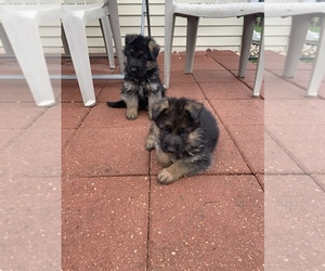 German Shepherd Dog Puppy for sale in MACHESNEY PARK, IL, USA