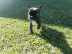 French Bulldog Puppy For Sale in COLTON, CA, USA
