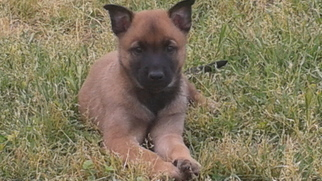 Belgian Malinois Puppy For Sale in GERBER, CA