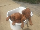 Vizsla Puppy For Sale in STANFORD, IL, USA