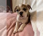 Small #11 English Bulldog