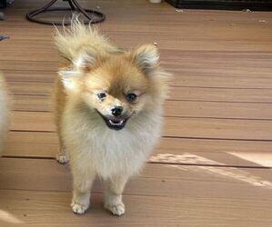 Pomeranian Puppy for sale in PLEASANT HILL, CA, USA