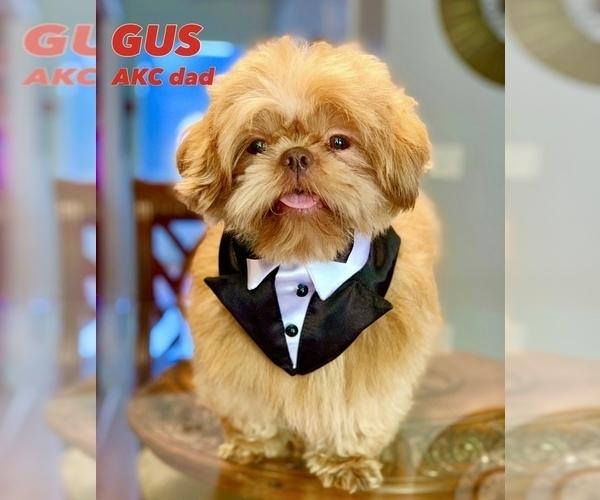 Medium Photo #1 Shih Tzu Puppy For Sale in SUGAR HILL, GA, USA