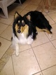 Collie Puppy For Sale in ANDOVER, KS, USA