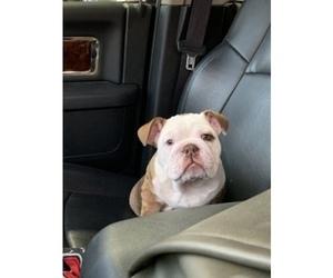 English Bulldog Puppy for sale in COLS, GA, USA