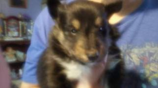 Shetland Sheepdog Puppy For Sale in PRINCETON, WV