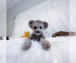 Small Poodle (Toy)