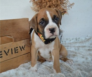 Boxer Puppy for sale in HONEY BROOK, PA, USA