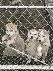 Siberian Husky Puppy For Sale in KELLYVILLE, OK, USA