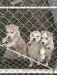 Siberian Husky Puppy For Sale in KELLYVILLE, Oklahoma,