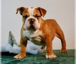 Small #1 English Bulldog