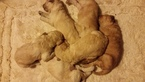 Goldendoodle Puppy For Sale in PELHAM, NH,