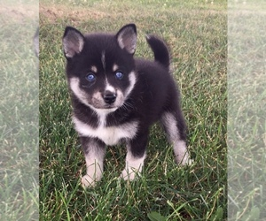 Alaskan Klee Kai Puppy for Sale in WINCHESTER, Ohio USA