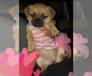 Chug-ShiChi Mix Puppy for sale in BUNN, NC, USA