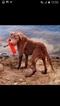 Chesapeake Bay Retriever Puppy For Sale in GAINESVILLE, TX
