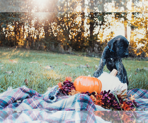 Great Dane Puppy for sale in HORTON, MI, USA