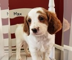 Small Brittany-Poodle (Miniature) Mix