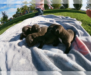 French Bulldog Puppy for sale in TONOPAH, NV, USA