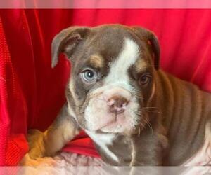 English Bulldog Puppy for sale in HAMDEN, CT, USA