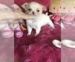 Tecup chihuahua longhair dollface