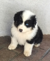 Australian Shepherd Puppy For Sale in GARDNER, KS