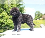 Small #47 Goldendoodle