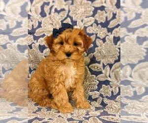 Cock-A-Poo Puppy for sale in NOTTINGHAM, PA, USA