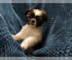 Shih Tzu Puppy for Sale in THE WOODLANDS, Texas USA