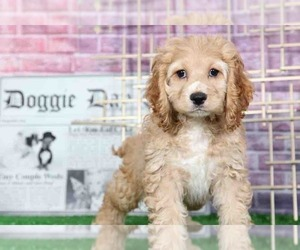 Cocker Spaniel Puppy for sale in BEL AIR, MD, USA