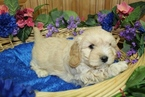 Cavachon Puppy For Sale in COLVILLE, WA, USA