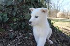 Wolf Hybrid Puppy For Sale in CLARKSVILLE, TN, USA
