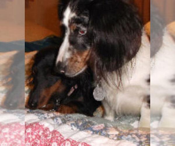 Medium Photo #1 Dachshund Puppy For Sale in ADEL, IA, USA