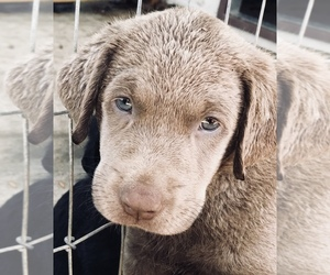 Labrador Retriever Puppy for Sale in LUDLOW, Missouri USA