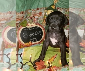 Great Dane Puppy for Sale in INDEPENDENCE, Missouri USA