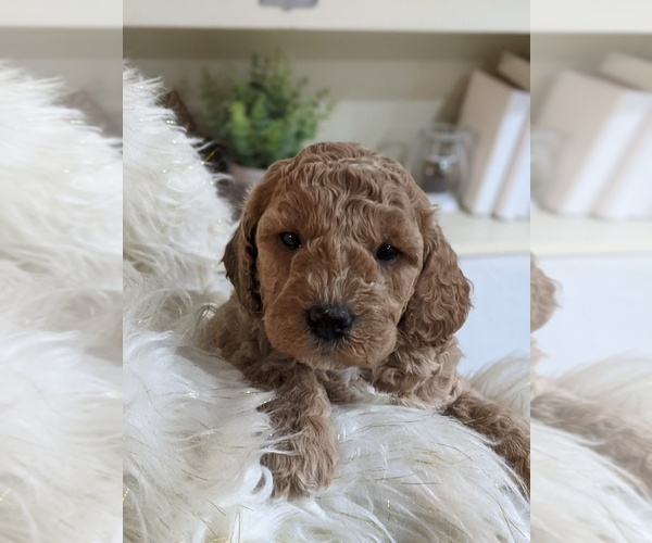 Medium Photo #3 Labradoodle-Poodle (Miniature) Mix Puppy For Sale in GOSHEN, IN, USA
