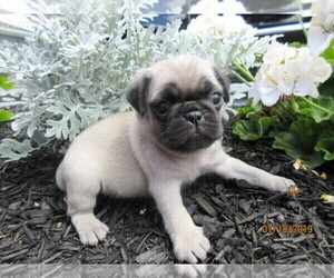 Pug Puppy for sale in NEWVILLE, PA, USA