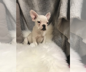 French Bulldog Puppy for Sale in HARTVILLE, Missouri USA
