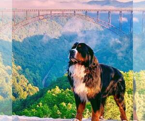 Father of the Bernese Mountain Dog puppies born on 05/22/2021