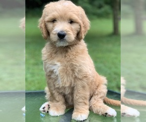 Goldendoodle Puppies for Sale in Indiana, USA, Page 1 (10