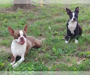 Boston Terrier Puppy for sale in CLARKSVILLE, TN, USA