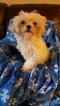 Maltipoo Puppy For Sale in HILLSBORO, TX, USA