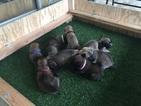 Belgian Malinois Puppy For Sale in MIAMI, FL, USA