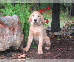 Golden Retriever Puppy for sale in SARCOXIE, MO, USA