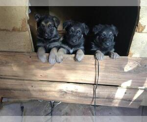 German Shepherd Dog Puppy for sale in NATIONAL CITY, CA, USA